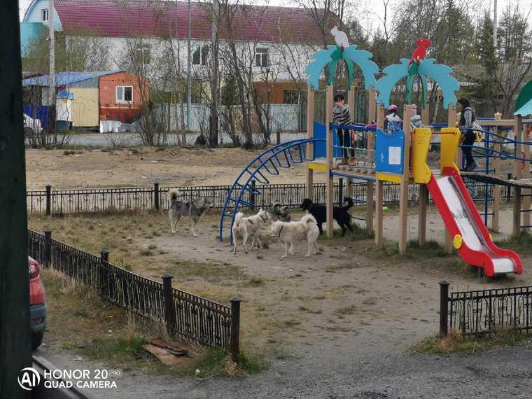 В ЯНАО стаи собак гоняются за детьми. Фото, видео